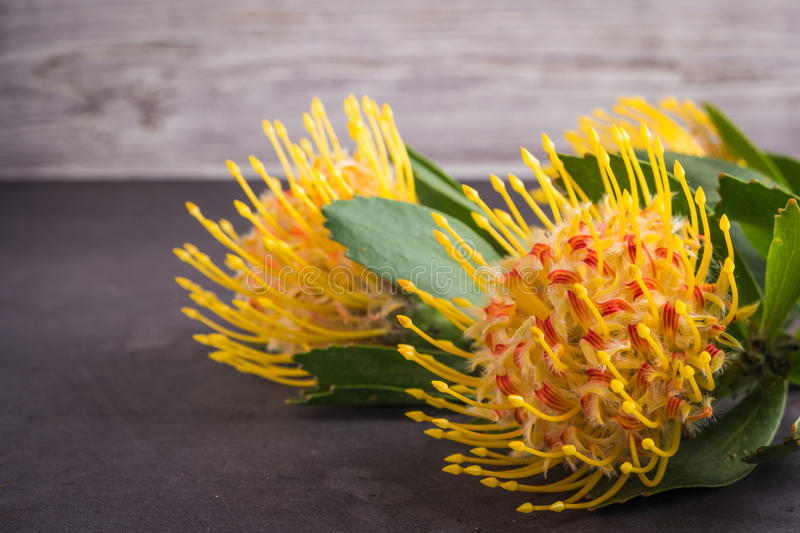 protea gialla